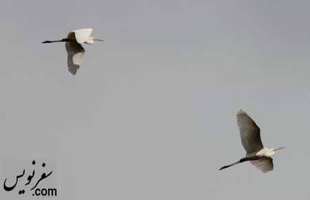 پرنده های مهاجر در تالاب عشق آباد