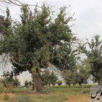 دو درخت کهنسال در روستای عاشقان