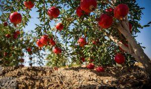 باغهای انار عقدا